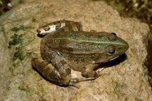 Албанская лягушка Pelophylax shqipericus