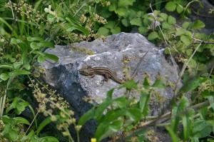 ящерица в черногории