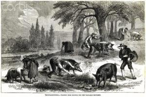 поиск трюфелей со свиньями